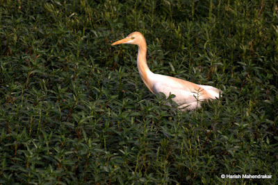 20-May-2012 Egret in breeding plumage Pic: Harish Mahendrakar