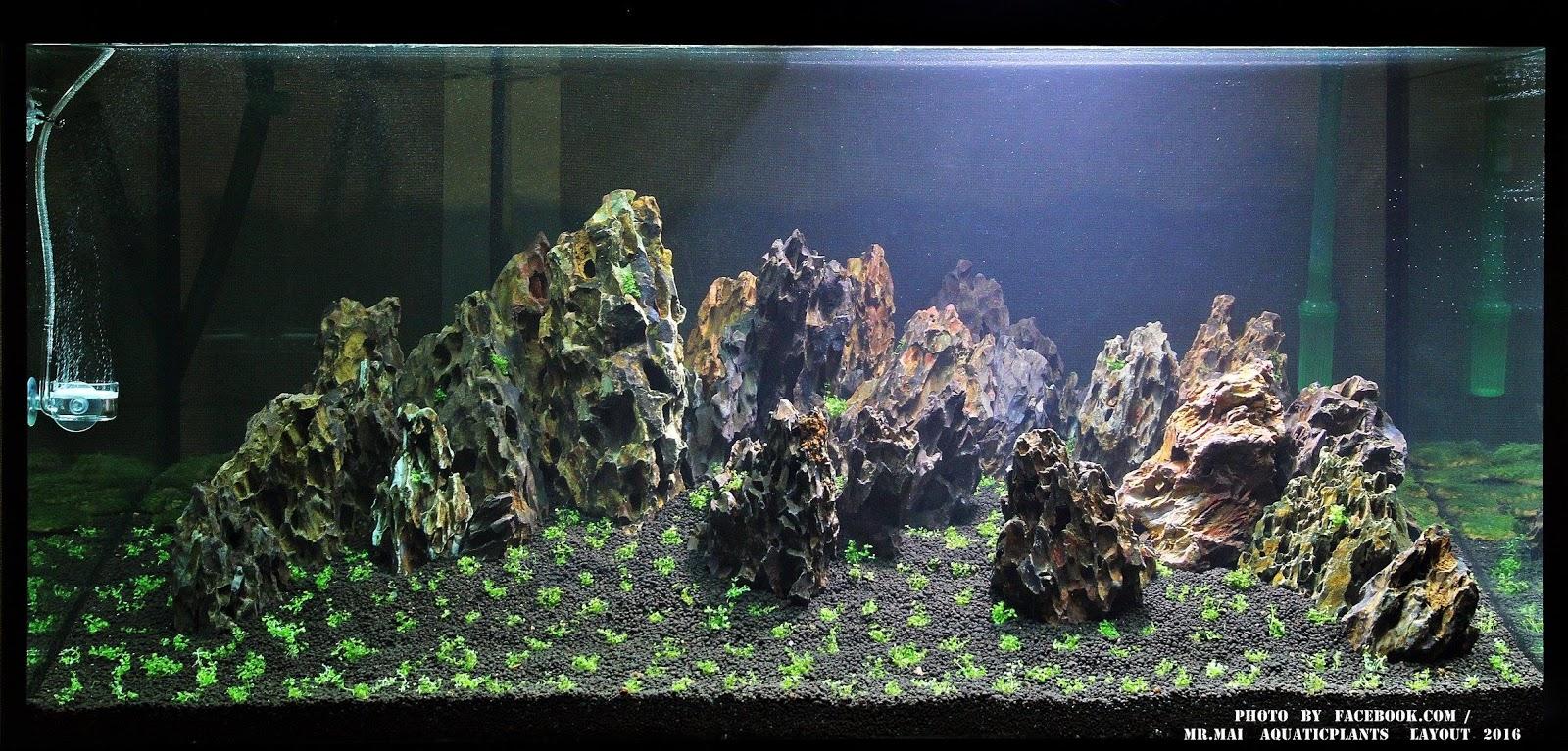Vinh Aqua hướng dẫn xử lý và trồng cây trân châu trong hồ thủy sinh