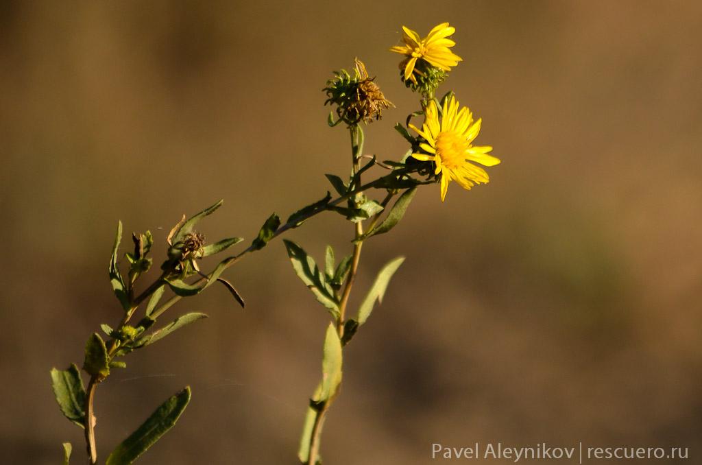 Осенний полевой цветок