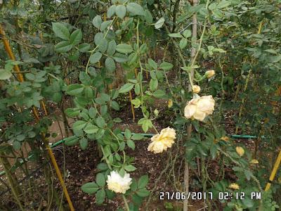 Chùm hoa hồng leo The Pilgrim rose, bông dưới cùng và hồng Golden Cebleration rose bên trên