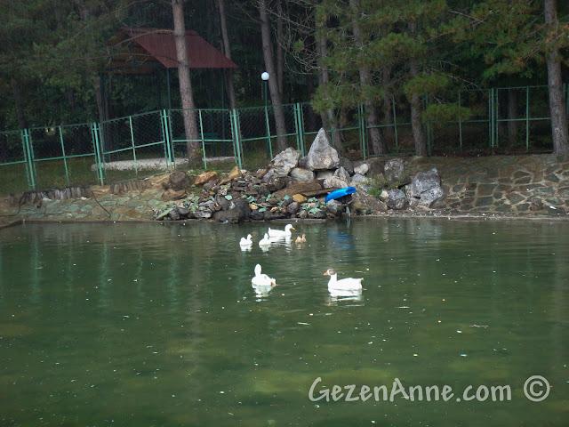 Bolu'daki Koru Otel'in bahçesindeki gölette yüzen ördekler