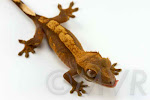 McJingles - Flame crested gecko from moonvalleyreptiles.com