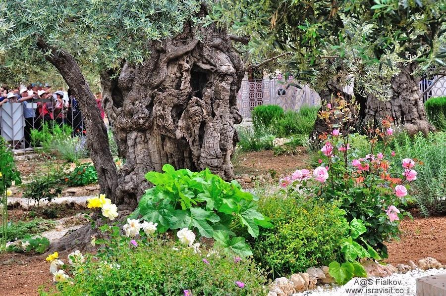 Гефсиманский сад (Гефсимания). У подножия Елеонской горы, в долине Кедрон. Экскурсия Иерусалим Христианский. Гид в Иерусалиме Светлана Фиалкова.