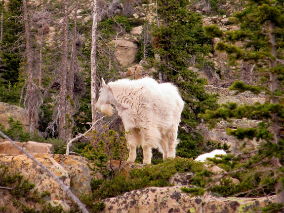 Mountain goat at the Notch