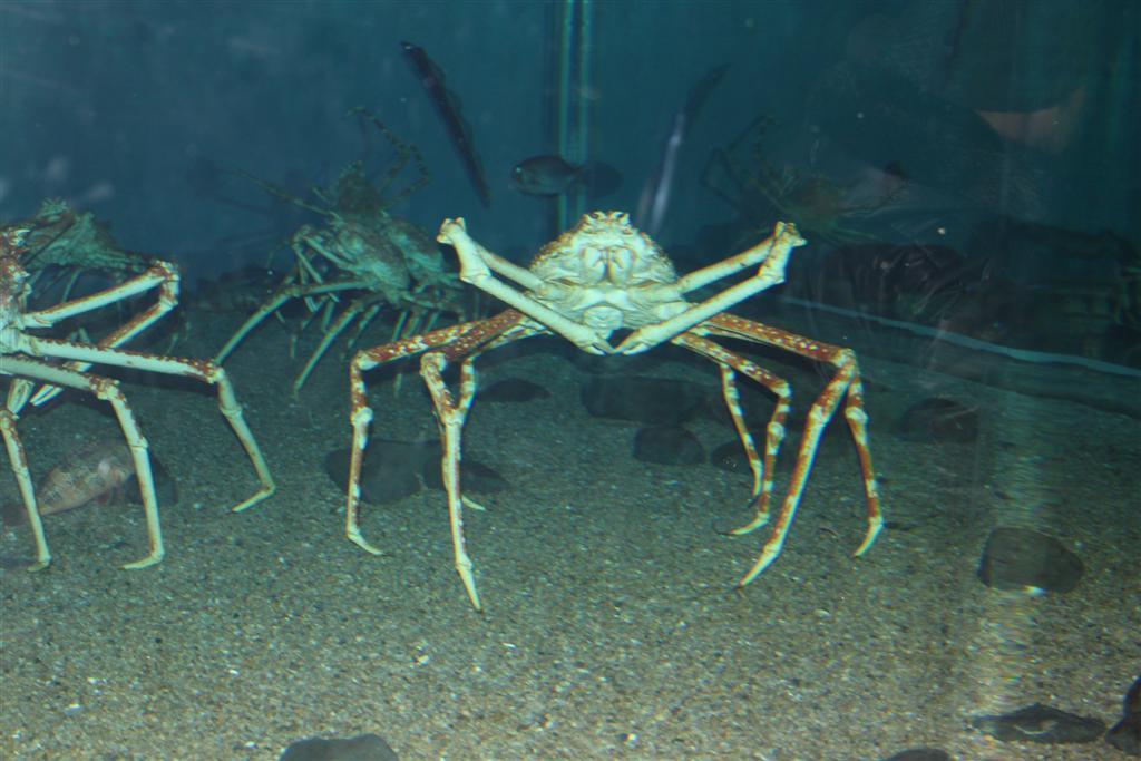 worlds largest spider crab Bulldog Clip Art Pet Clip Art