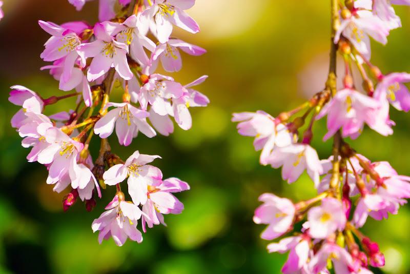 増上寺 桜 写真 17