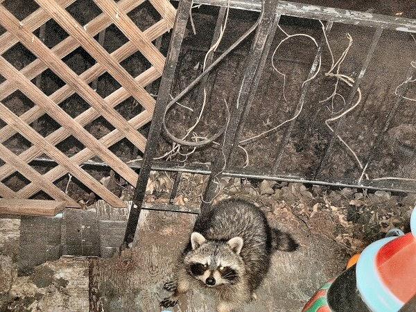 Raccoons Too (Two? Three?) | Newark USA