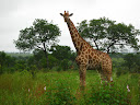 This giraffe is sticking its tongue out at us!