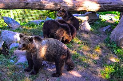 Brown bears at Skansen