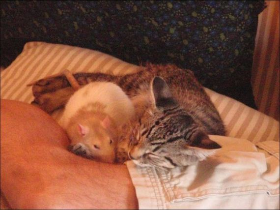 Gambar Lucu Kucing dan Tikus Berteman Baik