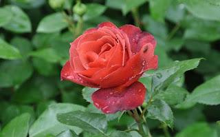 Hoa hồng ngoại Hot Chocolate Rose