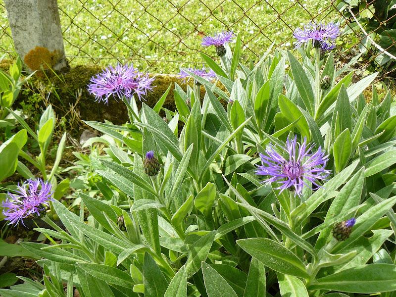 Des floraisons au jardin ... P1030247