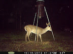 Louisiana Whitetail Trophy Deer Food Plot