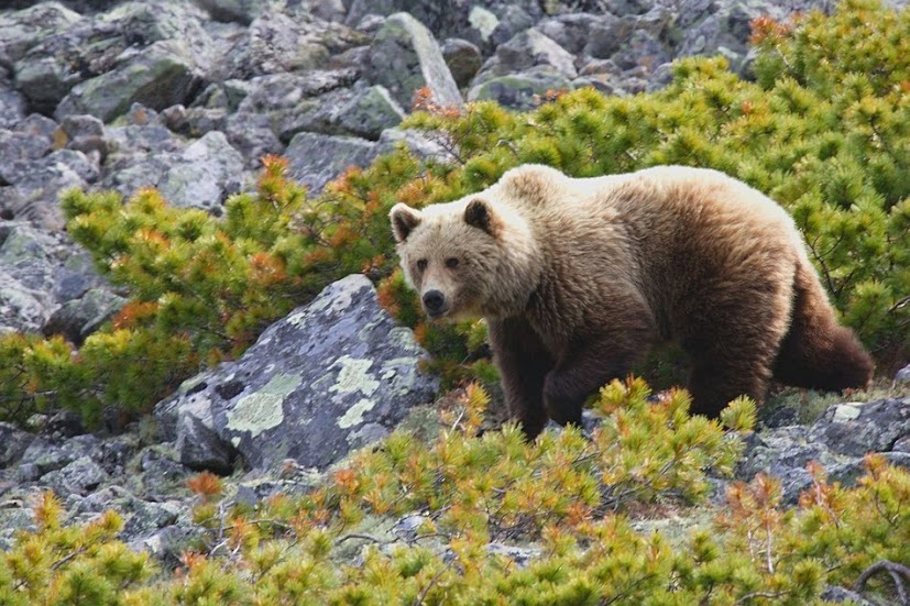 нюхач,медведь,хозяин тайги,охота,журнал охотник,