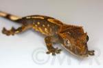 Blanket - harlequin morph partial pinstripe crested gecko baby.