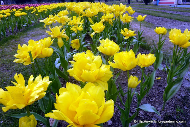 tulipa yellow hybird