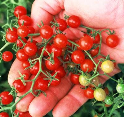 Cà chua kiểng màu đỏ