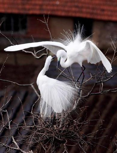 Белите чапли: драма за живота и смъртта Egret – The Dramas of Life and Death