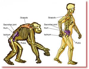 manusia lebih tegak dari simpanse