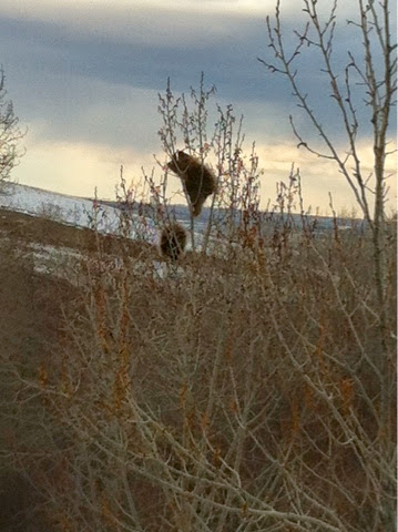 Porcupines up a tree on Nose Hill - by Feather