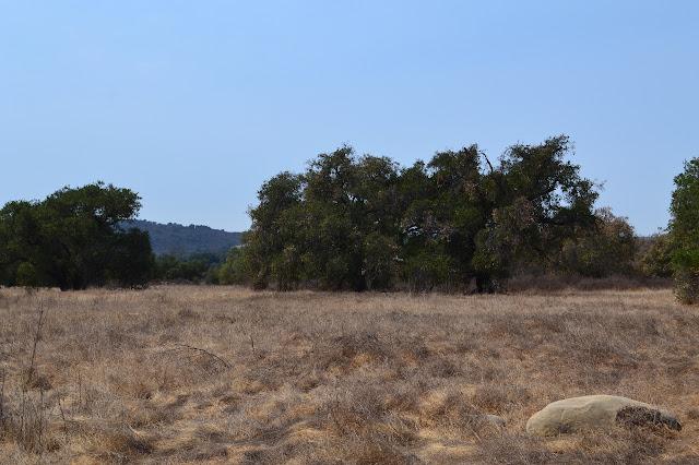some spreading oaks