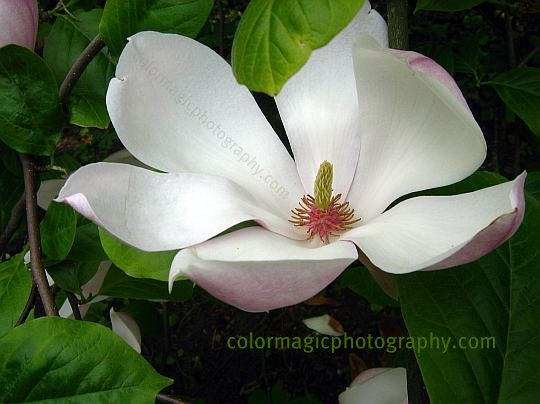 Saucer magnolia flower close-up