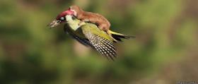 Furão voando de carona em um pica-pau