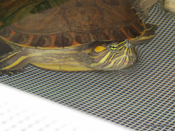 mes tortues (BK) - Page 10 IMG_2116