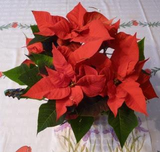 Wilczomlecz nadobny Euphorbia pulcherrima