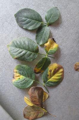 Các giai đoạn phát triển bệnh thán thư trên cây hồng