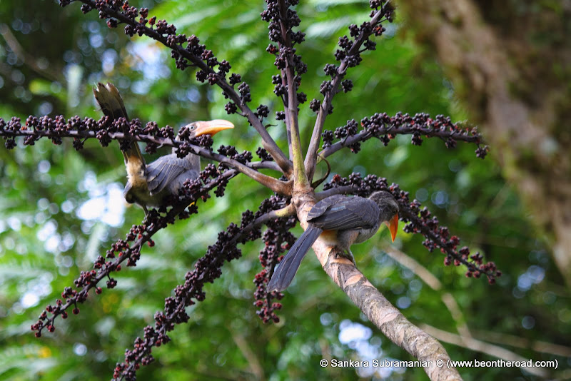 Grey Malabar Hornbill at Monica Garden Tea Bungalow, Valparai - 2
