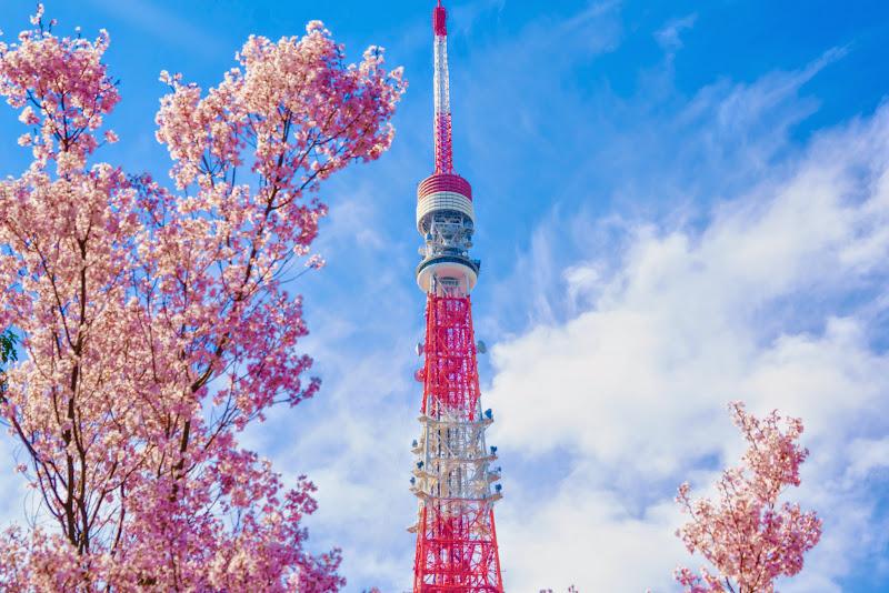 増上寺 桜 写真 19