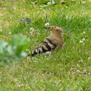 French village diaries migrating birds France Hoopoe