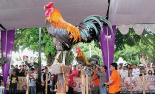 Kontes Ayam Ketawa Tingkat Nasional