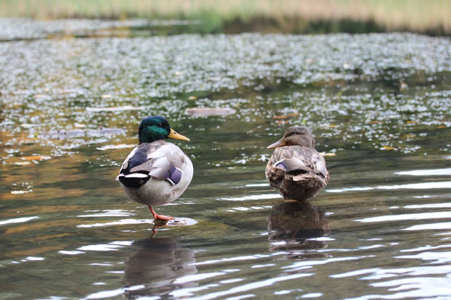 two ducks trying to nap by the edge of Menotomy Pond