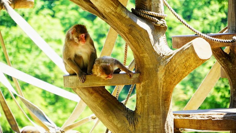 多摩動物公園 ニホンザル 写真2