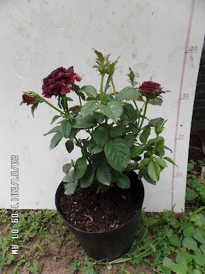 Hồng ngoại Abracadabra rose đang trổ hoa
