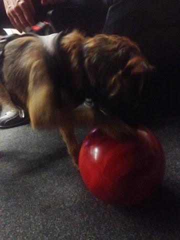 Border Terrier Charly untersucht die Spielbälle der Menschen