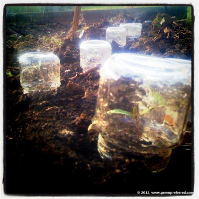 An army of our easy DIY cloches