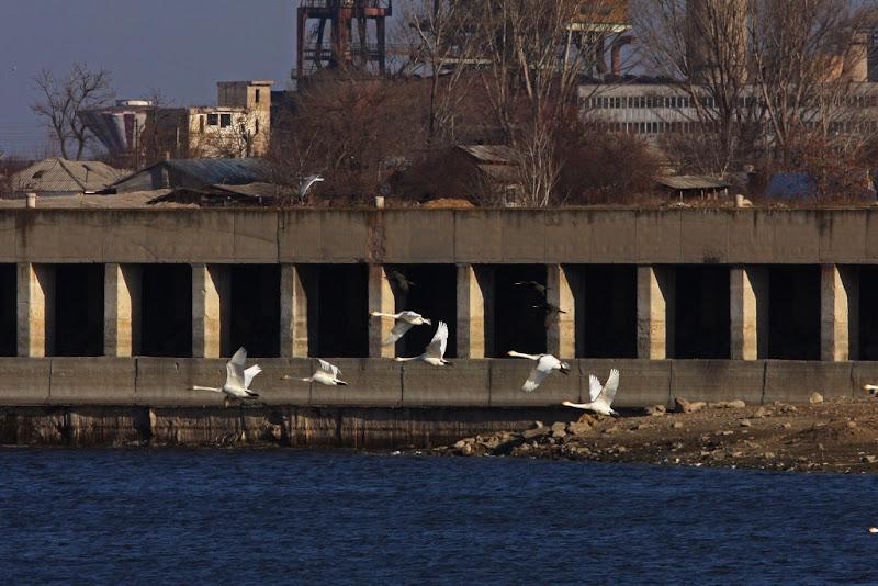 pasari birdwatching iarna Calarasi combinat siderurgic industrie ruina Iezer Cygnus columbianus