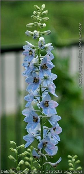 Delphinium x cultorum syn. D. hybridum inflorescence - Ostróżka ogrodowa kwiatostan