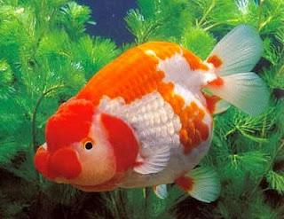 ikan+mas+koki+besar Cara  Pembenihan Ikan Mas Koki
