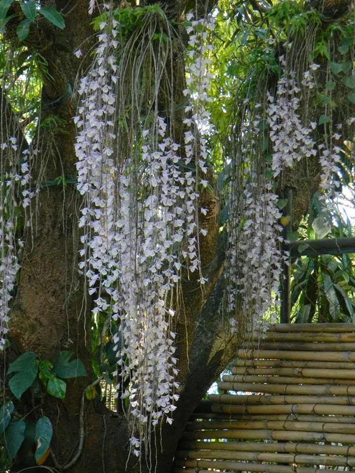 hạc vỹ lào thân dài và mảnh, hoa buông dài theo thân