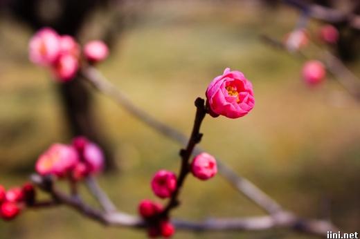 ảnh nụ hoa đào mùa xuân