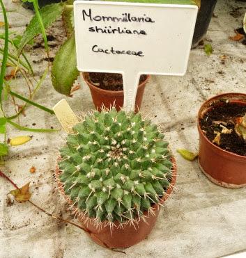 Mammilaria blossfieldiana var. shurliana