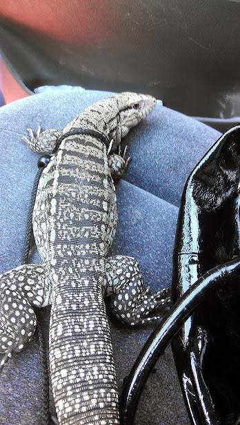 Esmeralda and the Petco Reptile Rally   Tegu Talk