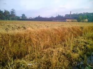 Rumput lalang atau gulma mati hingga akar setelah herbisida dicampur solut ion