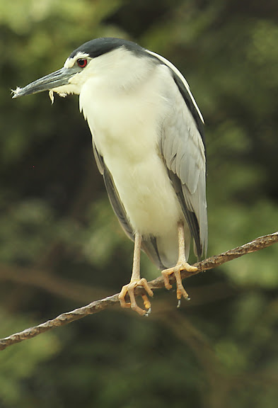 Vandalur Zoo - Kingfisher