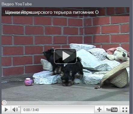 Видео щенков йорка Орисилк