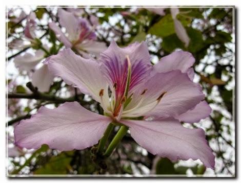 hoa ban trang moc chau pystravel002 Tháng Ba lên cao nguyên ngắm hoa ban trắng Mộc Châu